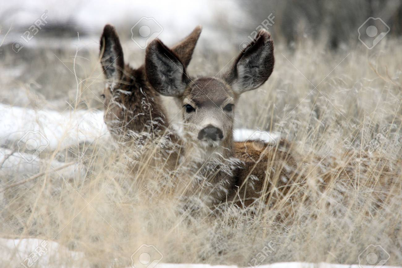 7535173-mule-deer-lower-klamath-national-wildlife-refuge