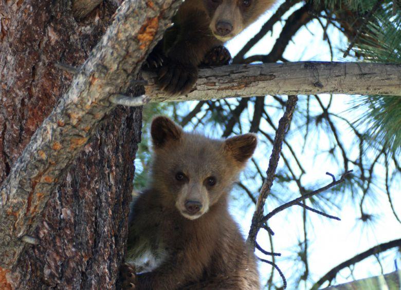 BearValley_Bears_Resized